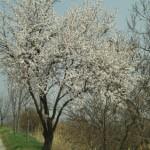 Obstbaum Kirschblütenweg @Veronika Holzinger