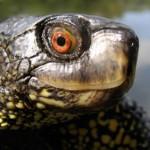 Europäische Sumpfschildkröte Nationalpark Donauauen ©Schindler