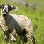 Genuss Region Osttiroler Berglamm - junges Lamm auf der Weide aus Bannberg auf der Pustataler Sonnenterrasse©Rita Newman