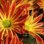 Herbstchrysanthemen_Credit_Höritzmiller Andrea