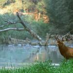 Rotwild, Rothirsch im Wasser röhrend, ©Kovacs